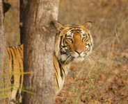 India's Best Tiger Wildlife Safari